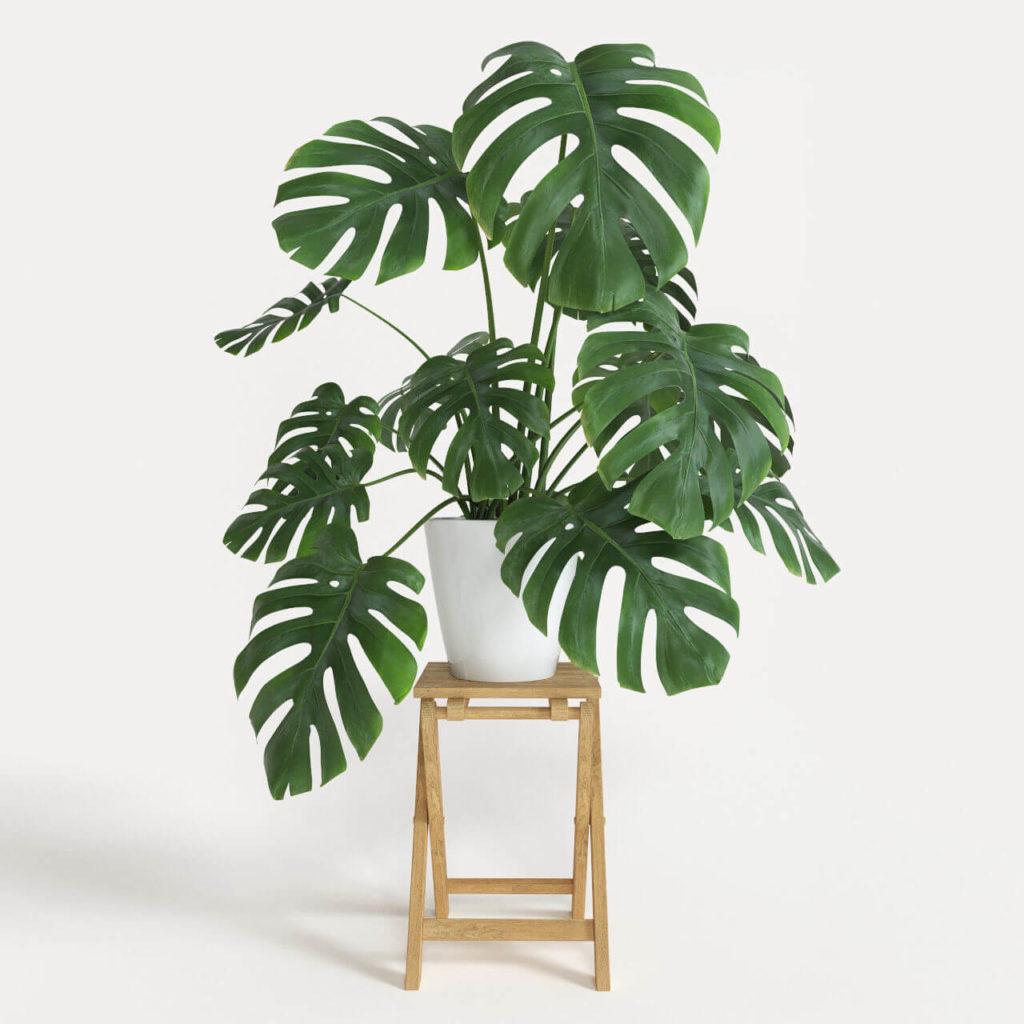 planta monsterosa