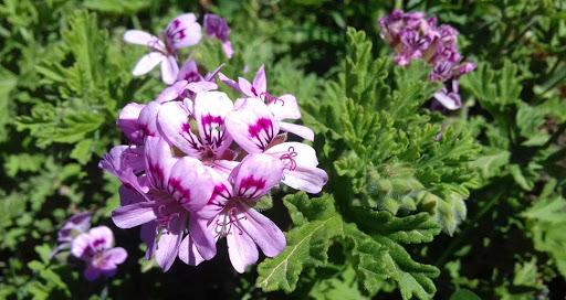 Geranio (Pelargonium graveolens)