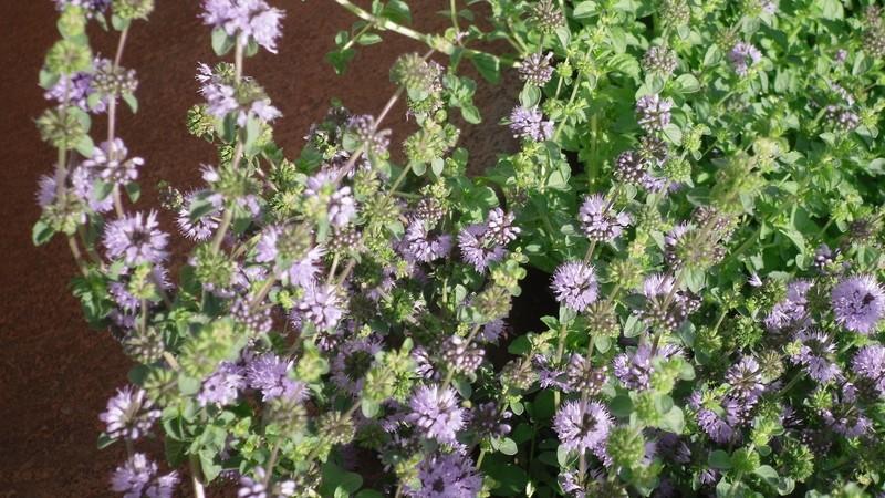 Poleo (Mentha pulegium)