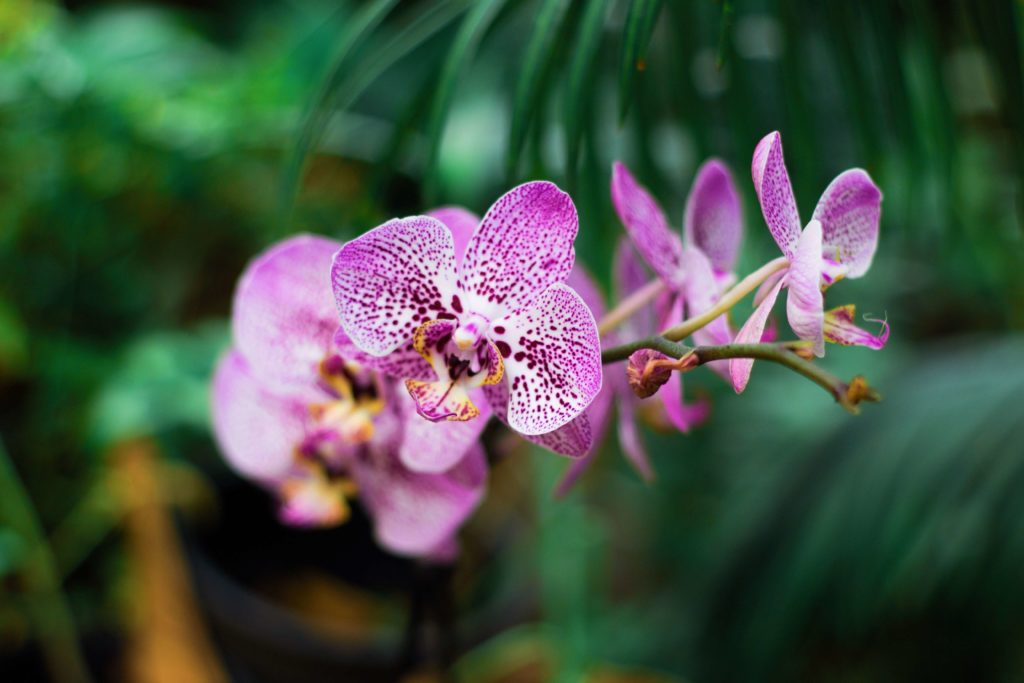 Orquídea Phalaenopsis foto