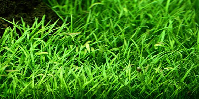 Lilaeopsis planta para acuarios