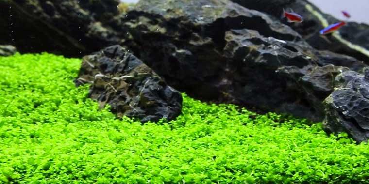 Micranthemum planta de acuario