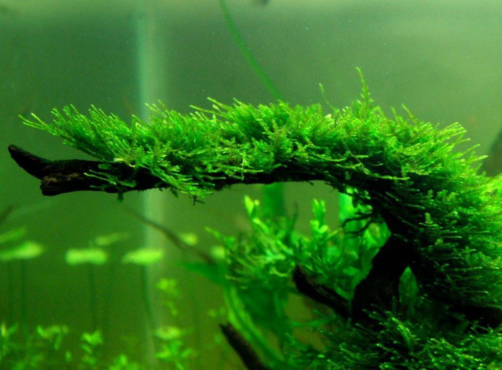 Vesiculariamontagnei planta para acuarios