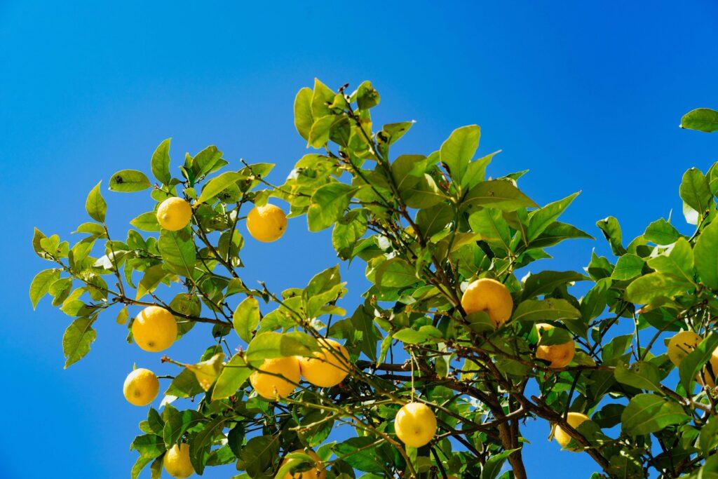 arbol de limones
