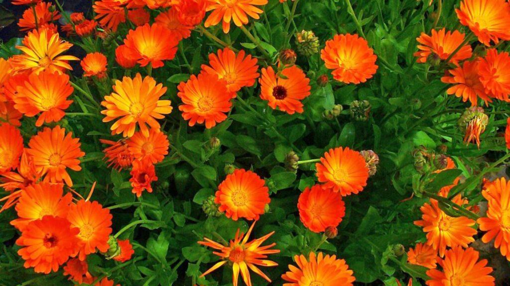 flor de calendula