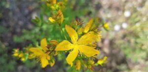 flor de hiperico