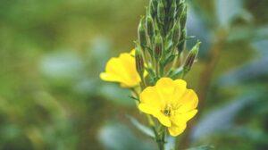 flor de onagra para aceite