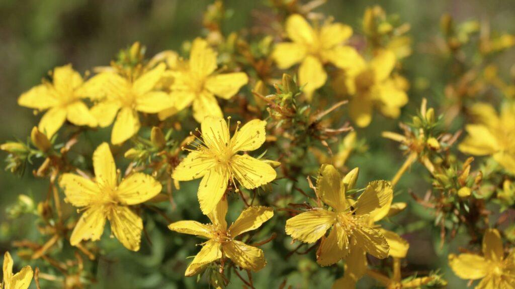 hipero flores