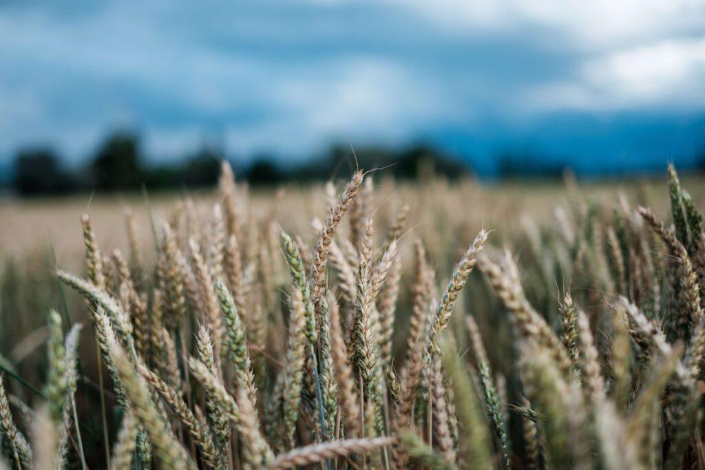 planta de trigo
